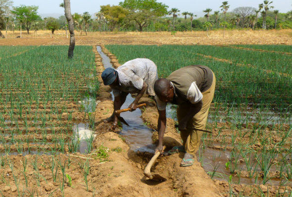 Farmers working an irrigated field in Burkina Faso
